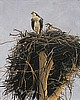 The Osprey Nest